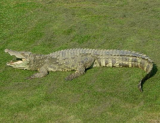 Picture of a siamese crocodile (Crocodylus siamensis)