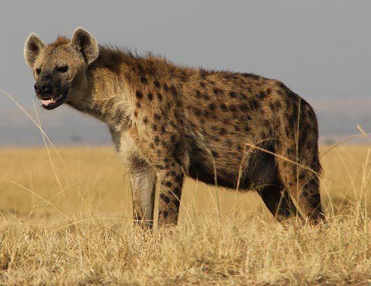 Picture of a spotted hyena (Crocuta crocuta)
