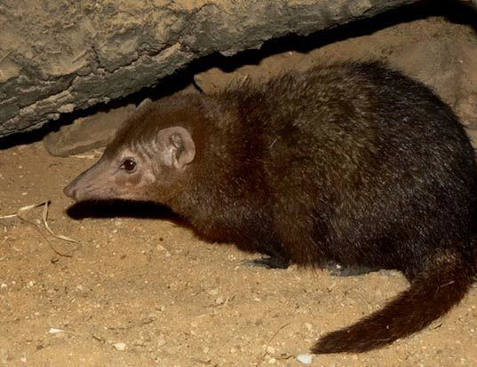 Picture of a cusimanse (Crossarchus obscurus)