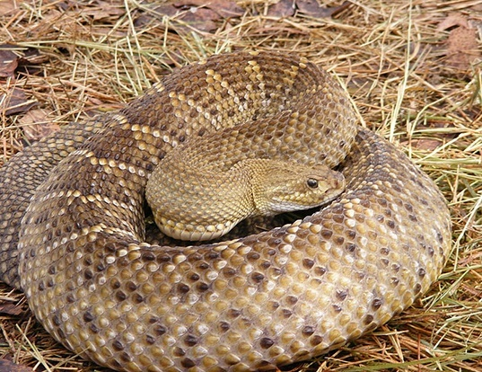 Picture of a mexican west-coast rattlesnake (Crotalus basiliscus)