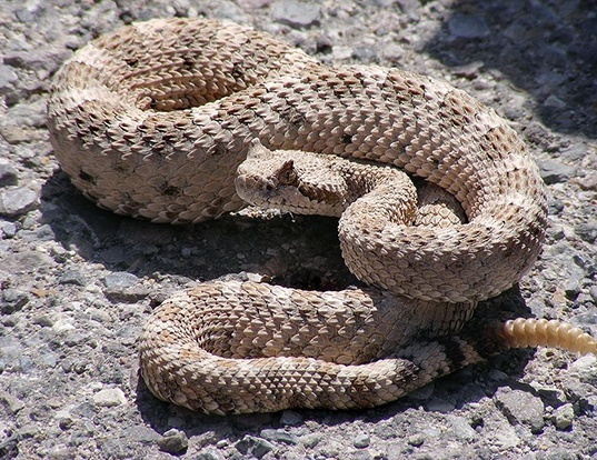 Picture of a sidewinder (Crotalus cerastes)