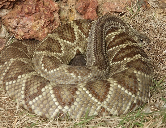 Picture of a cascabel rattlesnake (Crotalus durissus)