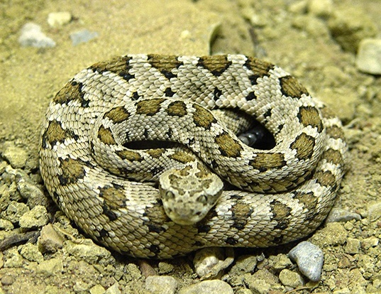 Picture of a lower california rattlesnake (Crotalus enyo)