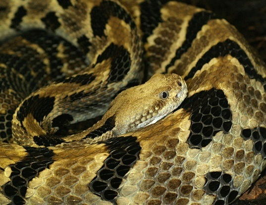 Picture of a timber rattlesnake (Crotalus horridus)