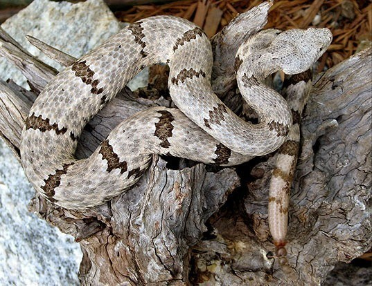 Picture of a rock rattlesnake (Crotalus lepidus)