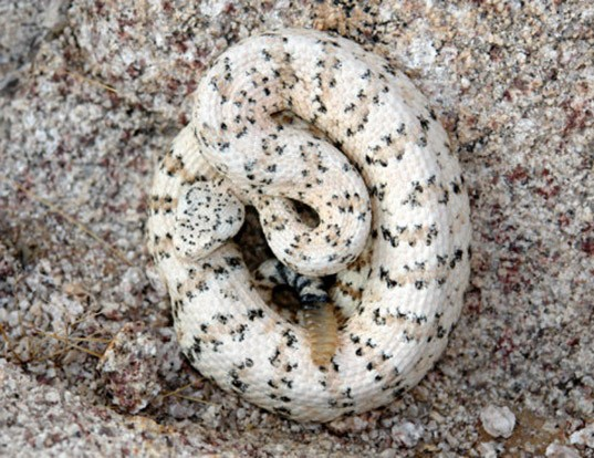 Picture of a southwestern speckled rattlesnake (Crotalus mitchellii pyrrhus)