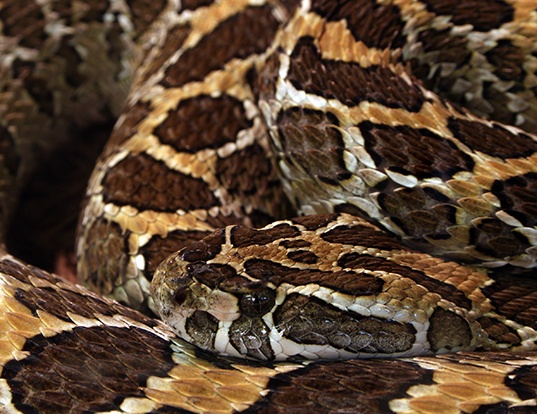 Picture of a mexican lancehead rattlesnake (Crotalus polystictus)