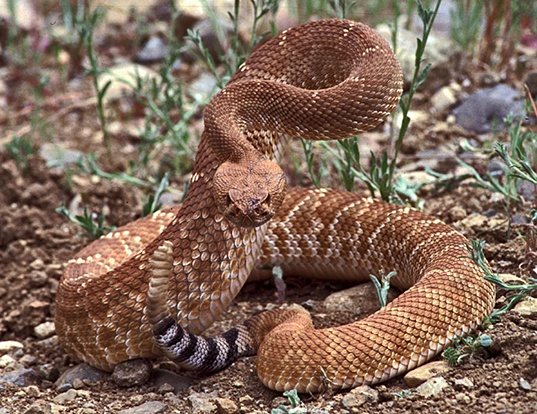 Picture of a northern red rattlesnake (Crotalus ruber ruber)