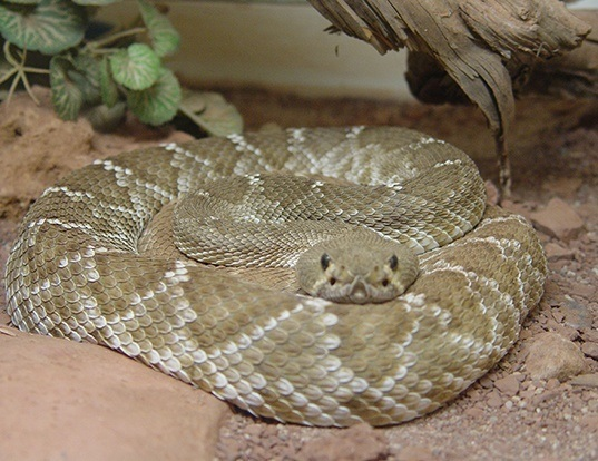 Picture of a red diamond rattlesnake (Crotalus ruber)