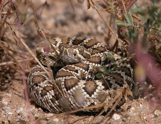 Picture of a mojave rattlesnake (Crotalus scutulatus)