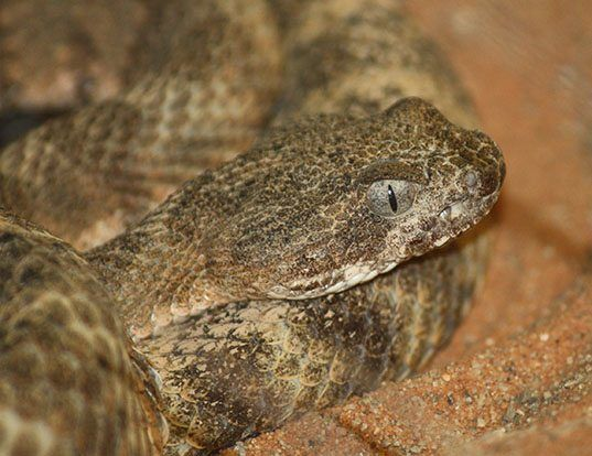 Picture of a tiger rattlesnake (Crotalus tigris)