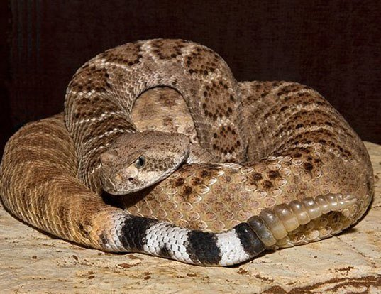 Picture of a tortuga island rattlesnake (Crotalus tortugensis)