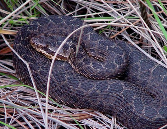 Picture of a mexican dusky rattlesnake (Crotalus triseriatus triseriatus)