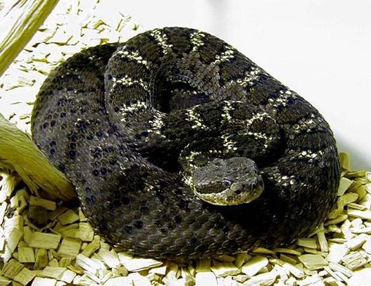 Picture of a arizona black rattlesnake (Crotalus viridis cerberus)