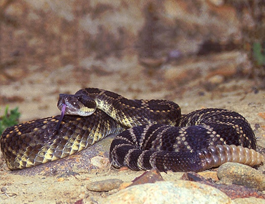 Picture of a southern pacific rattlesnake (Crotalus viridis helleri)