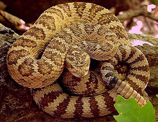Picture of a great basin rattlesnake (Crotalus viridis lutosus)