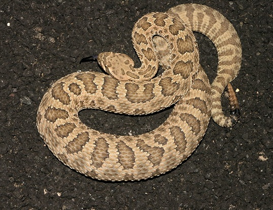 Picture of a hopi rattlesnake (Crotalus viridis nuntius)