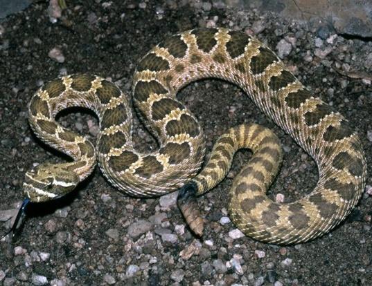 Picture of a prairie rattlesnake (Crotalus viridis)