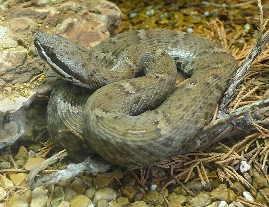 Picture of a new mexican ridge-nosed rattlesnake (Crotalus willardi)