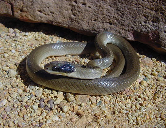 Picture of a herald snake (Crotaphopeltis hotamboeia)