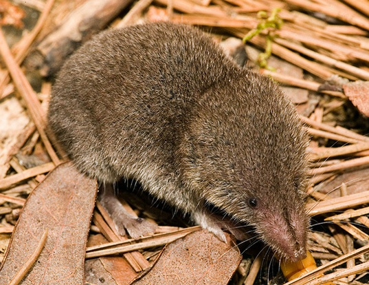 Picture of a north american least shrew (Cryptotis parva)