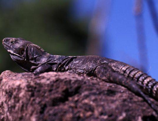 Picture of a nolasco spiny-tailed iguana (Ctenosaura hemilopha)