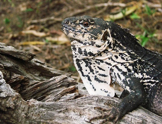 Picture of a motagua spiny-tailed iguana (Ctenosaura palearis)