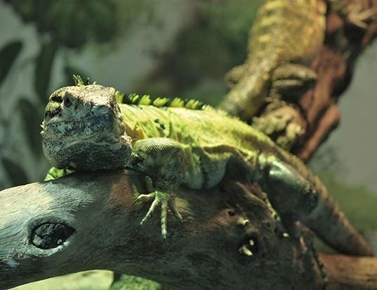 Picture of a western spiny-tailed iguana (Ctenosaura pectinata)