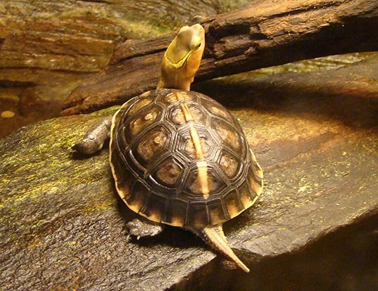 Picture of a yellow-margined box turtle (Cuora flavomarginata)