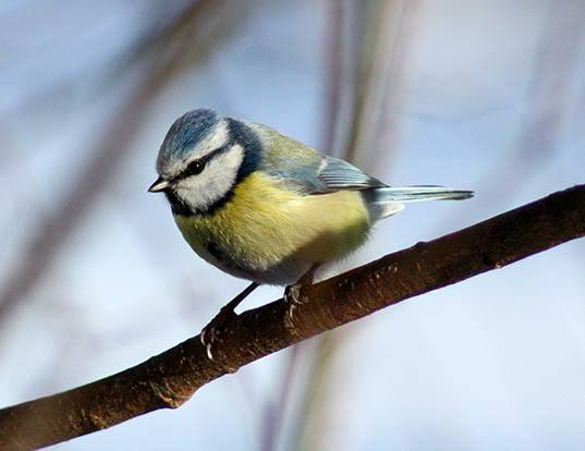 Picture of a blue tit (Cyanistes caeruleus)