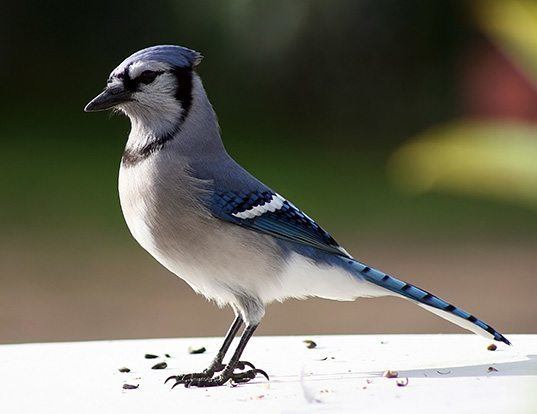 Picture of a blue jay (Cyanocitta cristata)