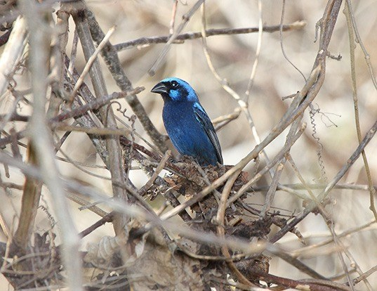 Picture of a blue bunting (Cyanocompsa parellina)