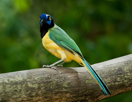 Picture of a green jay (Cyanocorax yncas)