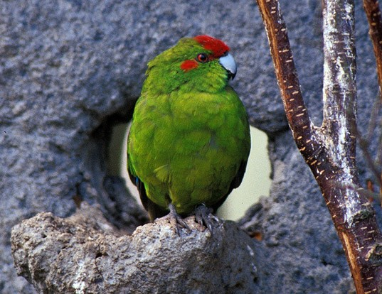 Picture of a red-fronted parakeet (Cyanoramphus novaezelandiae)