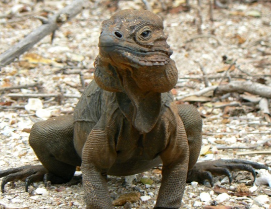Picture of a rhinoceros iguana (Cyclura cornuta)