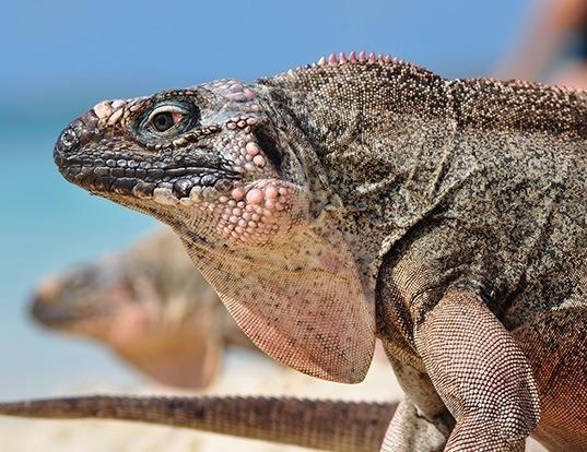 Picture of a northern bahamian rock iguana (Cyclura cychlura)