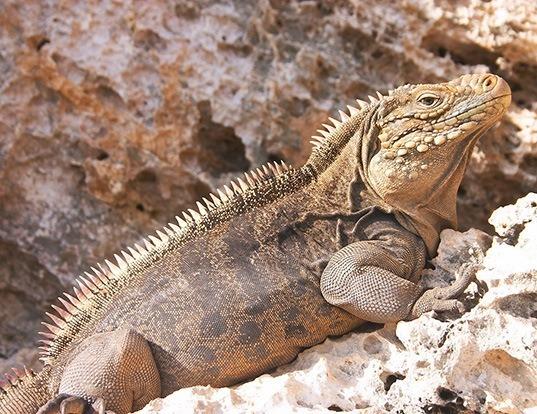 Picture of a clouded rock iguana (Cyclura nubila)