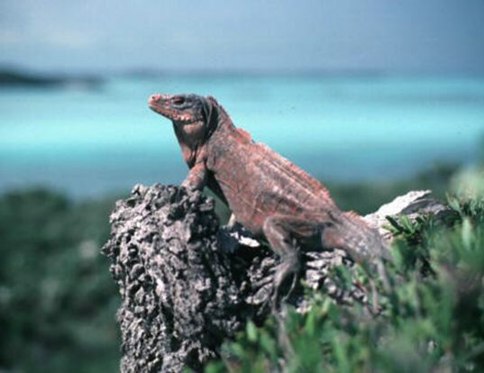 Picture of a acklins rock iguana (Cyclura rileyi nuchalis)