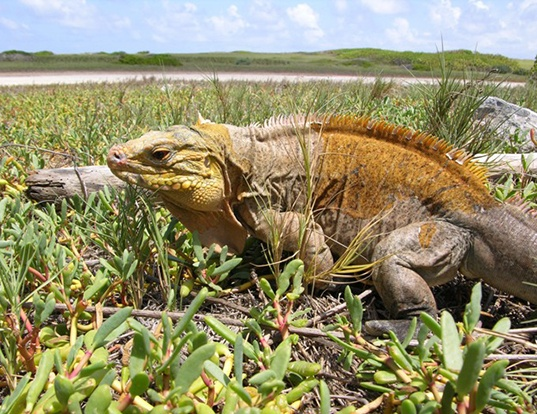 Picture of a central bahamian rock iguana (Cyclura rileyi)