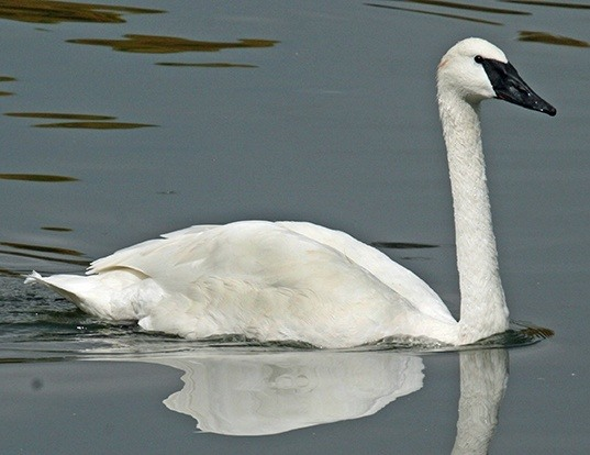 Picture of a trumpeter swan (Cygnus buccinator)