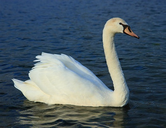 Picture of a mute swan (Cygnus olor)