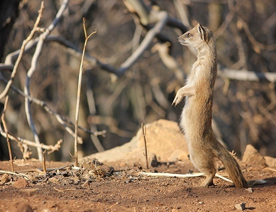 Picture of a yellow mongoose (Cynictis penicillata)