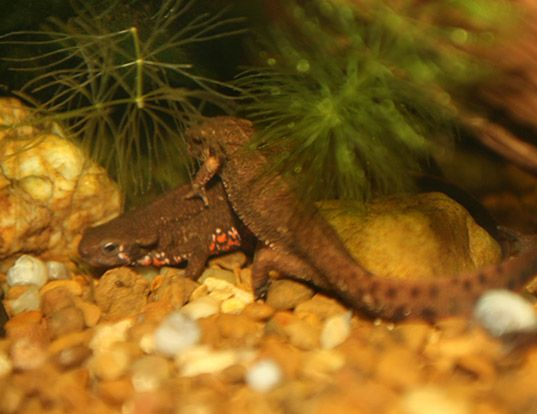 Picture of a japanese fire-bellied newt (Cynops pyrrhogaster)