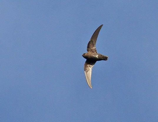 Picture of a black swift (Cypseloides niger)