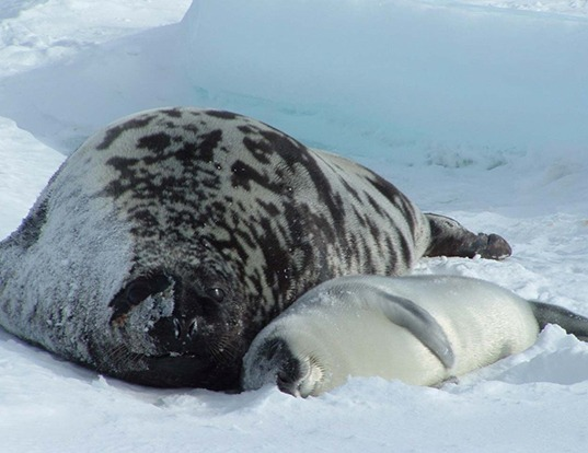 Picture of a hooded seal (Cystophora cristata)