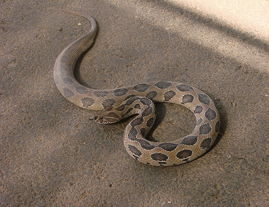 Picture of a eastern russell's viper (Daboia russelii)