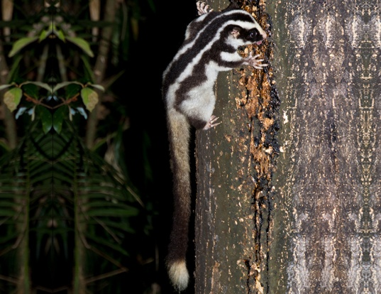 Picture of a striped possum (Dactylopsila trivirgata)