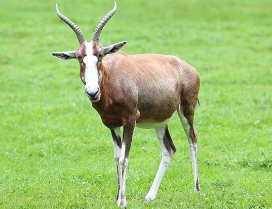 Picture of a sassaby or blesbok (Damaliscus pygargus)