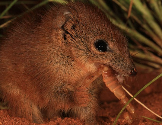 Picture of a little red antechinus (Dasykaluta rosamondae)