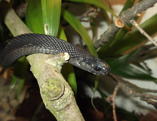 Picture of a african egg-eating snake (Dasypeltis atra)
